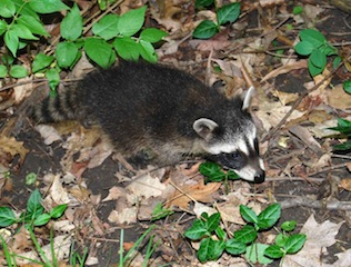 raccoon baby2